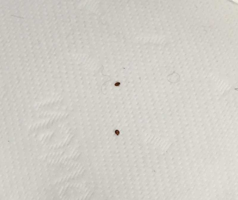 Recognising Bed Bugs